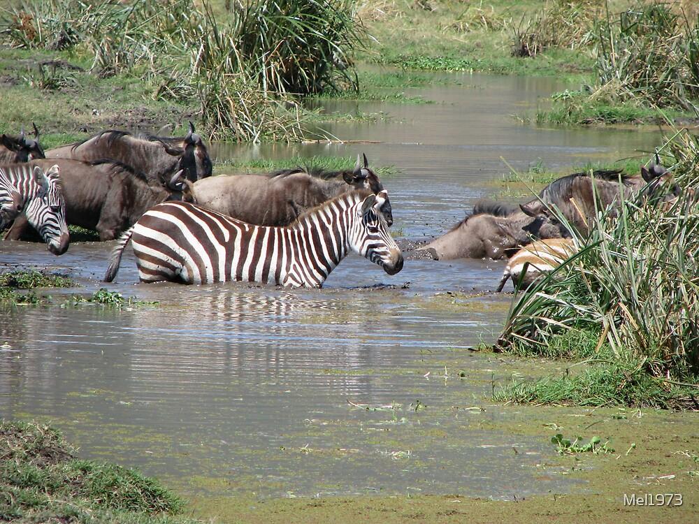 Zebra and wildebeest crossing, Ngorongoro Crater by Mel1973