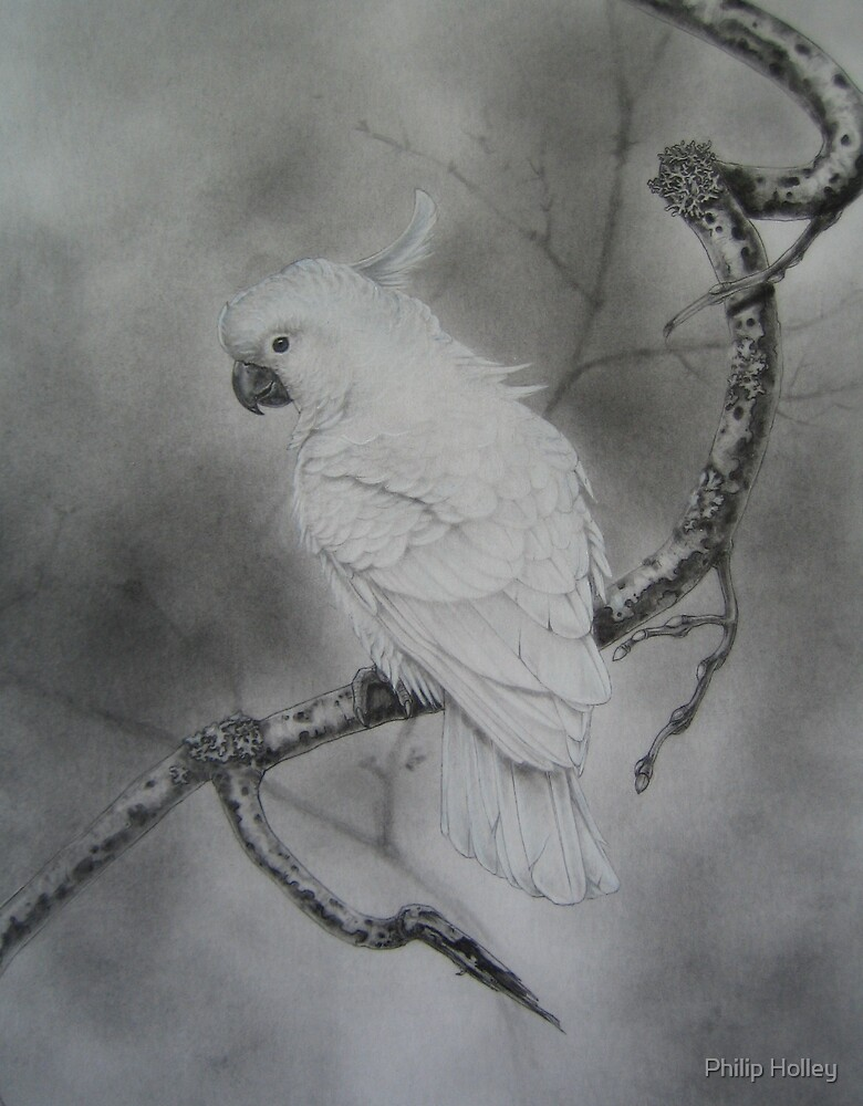 Sulphur Crested Cockatoo by Philip Holley