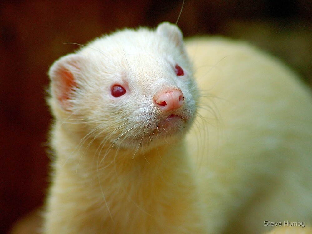 Ferret by Steve Humby