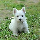 West Highland White Terrier Puppy by quentinjlang