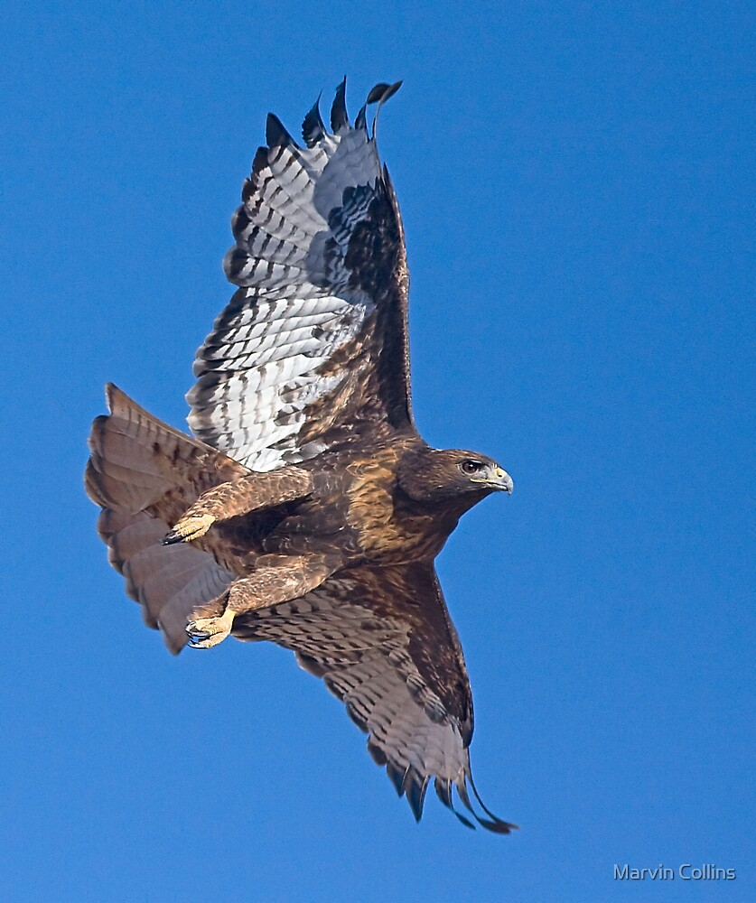 Zone-Tailed Hawk by Marvin Collins