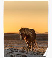 Isländisches Pferd und Sonnenuntergang in der Winterzeit Poster