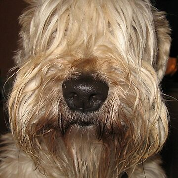 soft coated wheaten terrier by marasdaughter
