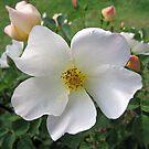 Single White Beauty by Susan Moss