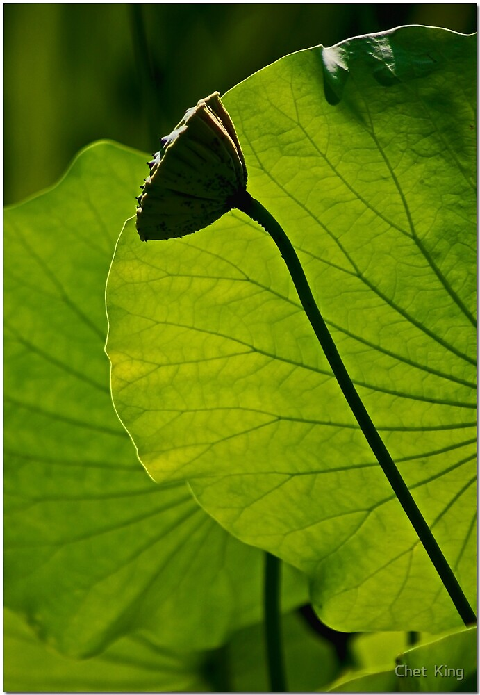 Pod And Leaves by Chet  King