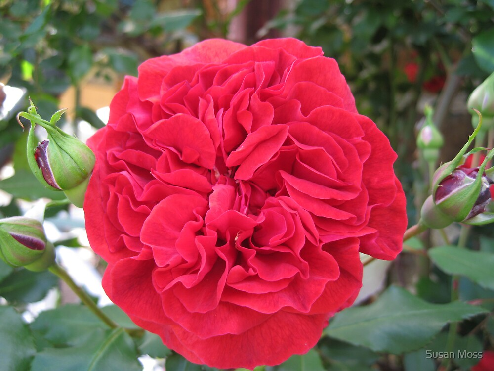 Red Rose by Susan Moss
