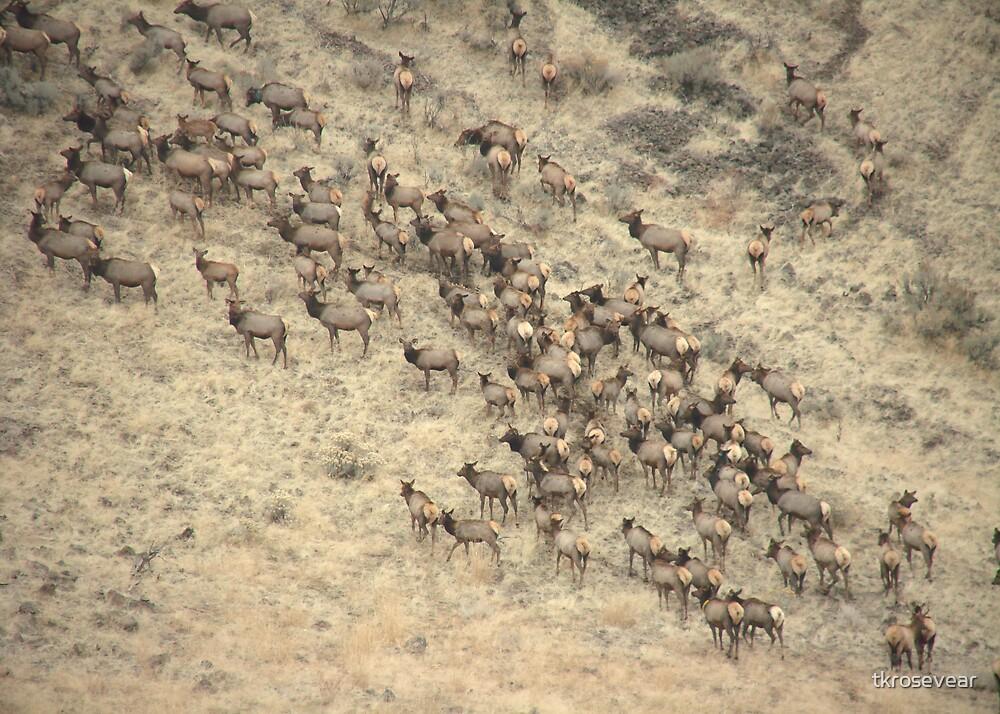 Run, Elk, Run by tkrosevear