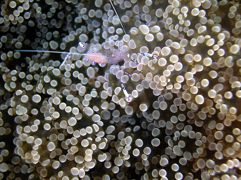 Clear Shrimp, Bikini Atoll, Marshall Islands by David Leonard