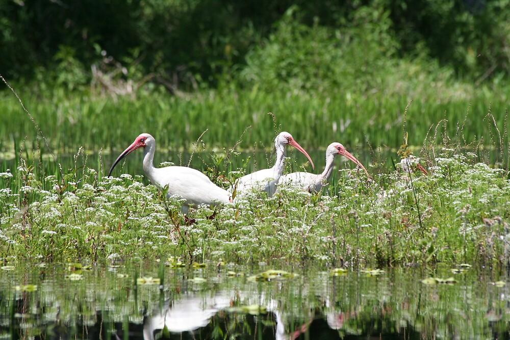 Three White Ibis by Karen  Moore