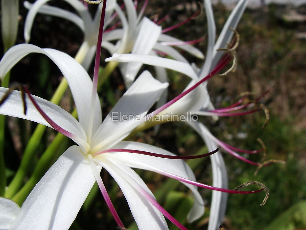 Wild White Australian Flowers by Elena Martinello