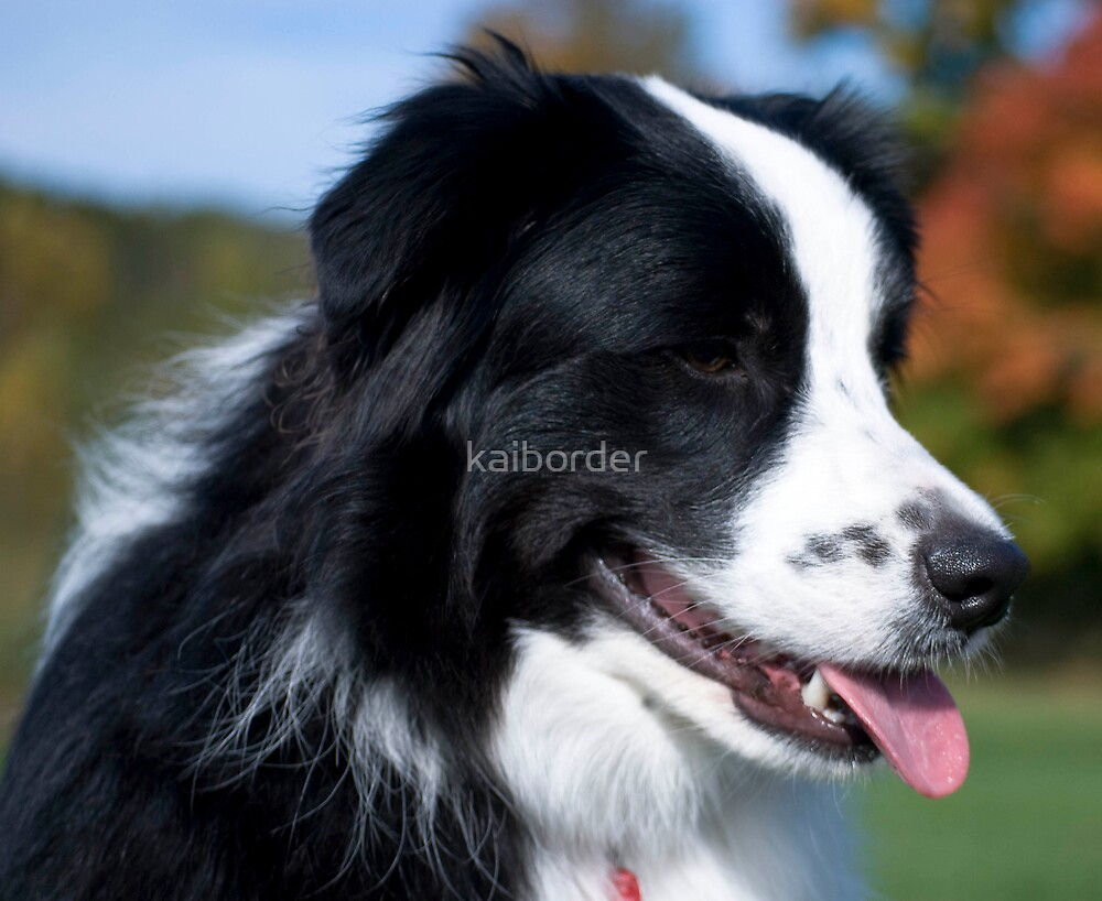 Border Collie by kaiborder