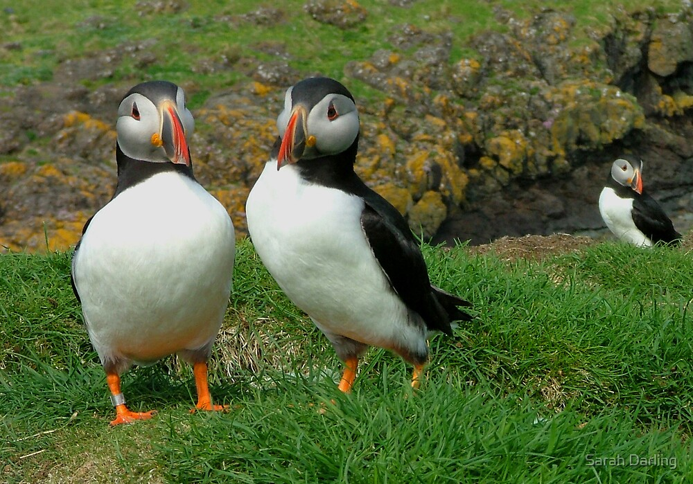 Puffins Together by Sarah Darling