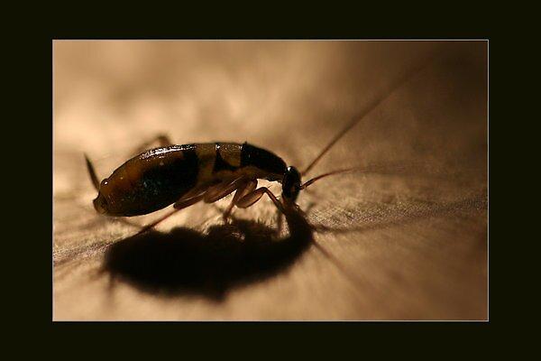 Sneaky Roach by Sheraz Khan