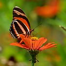 butterfly in Costa Rica by Margaret Shark