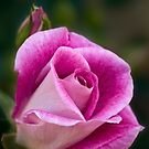 Pinke Rose von Celeste Mookherjee