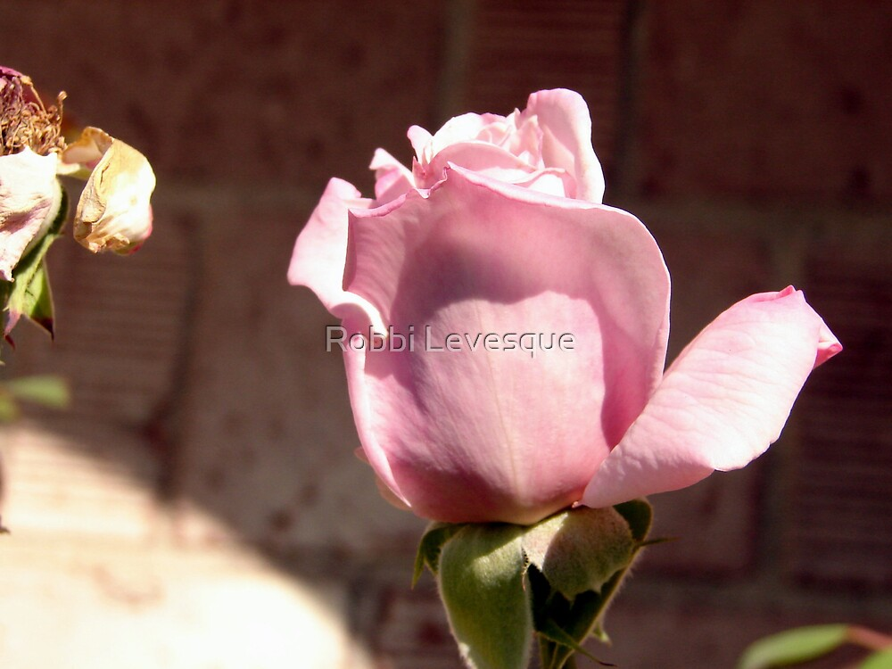 Pretty Pink Rose by down23