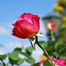 Rosa 'Double Delight' by Julie Sherlock