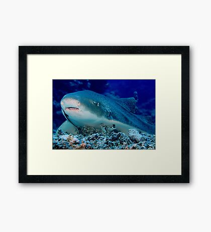 Leopard Shark, Great Barrier Reef Framed Print