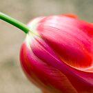 Tulip close up  by Stephanie Johnson