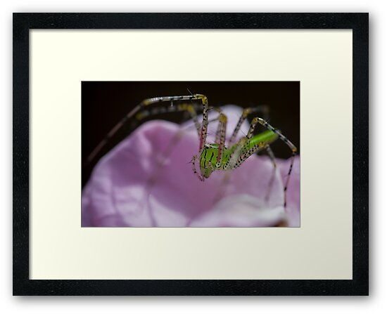 Green spider-Pink rose by Stephen Brown
