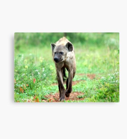 ON A MISSION STRAIGHT TO ME - *Spotted Hyaena - Crocuta crocuta* Canvas Print