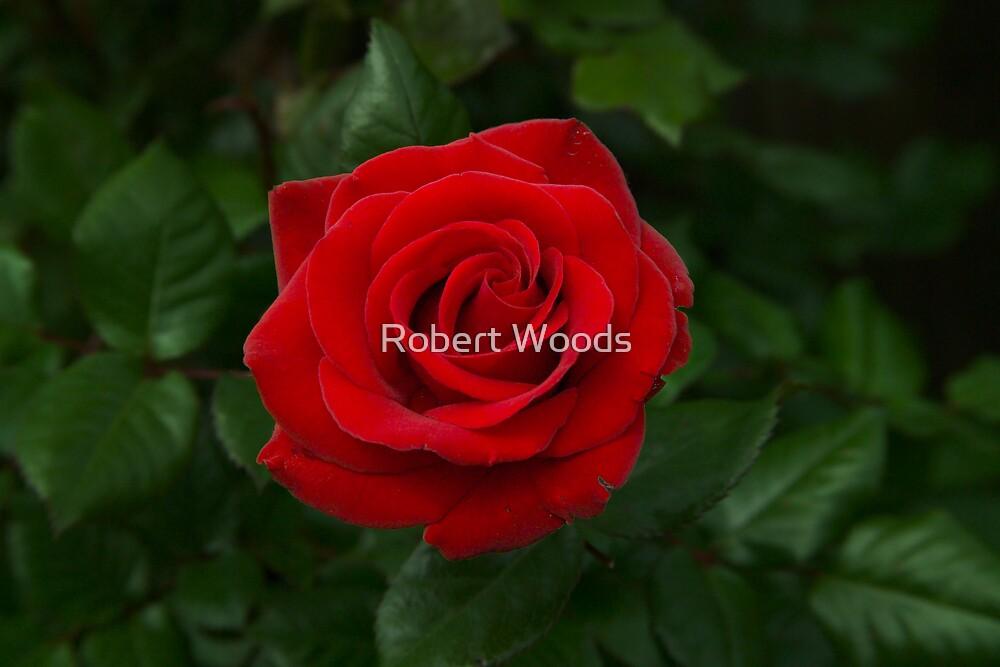 Rose by Robert Woods