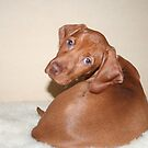 Hungarian Vizsla puppy - looking over shoulder by Tracey Pacitti