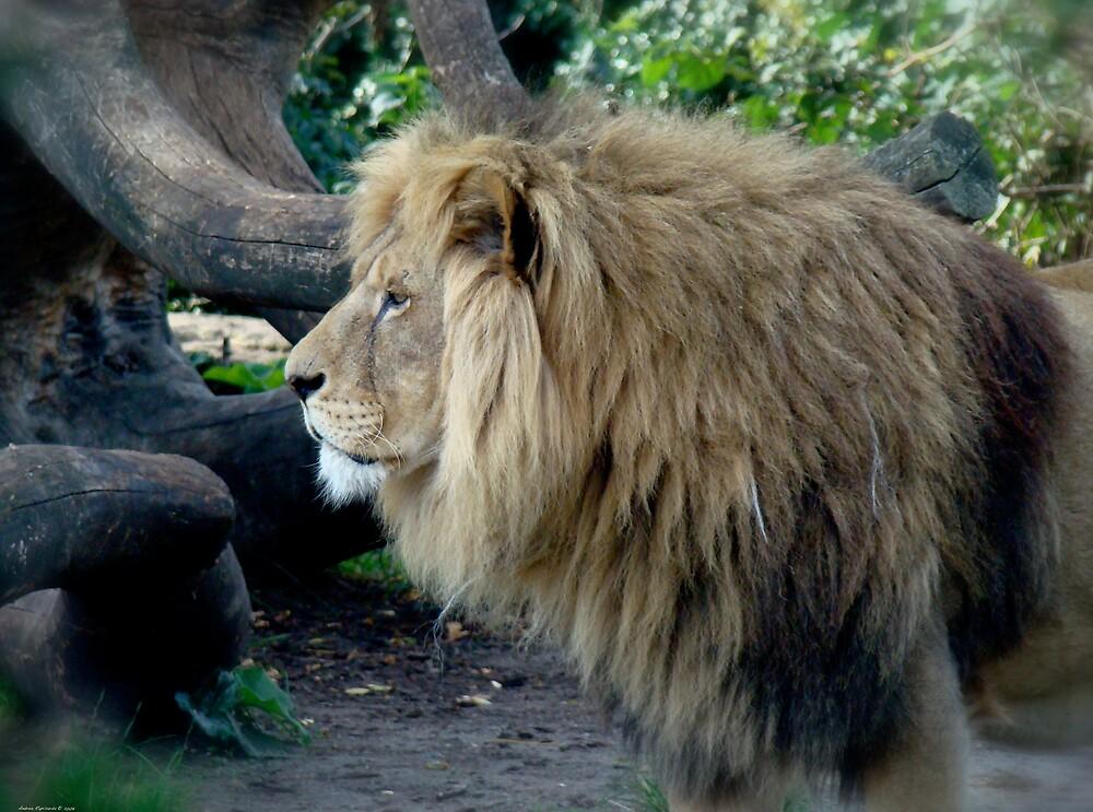 A beautiful  lion  by Andrea Rapisarda