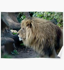 A beautiful  lion  Poster
