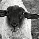Little Lamb by DMWilliams