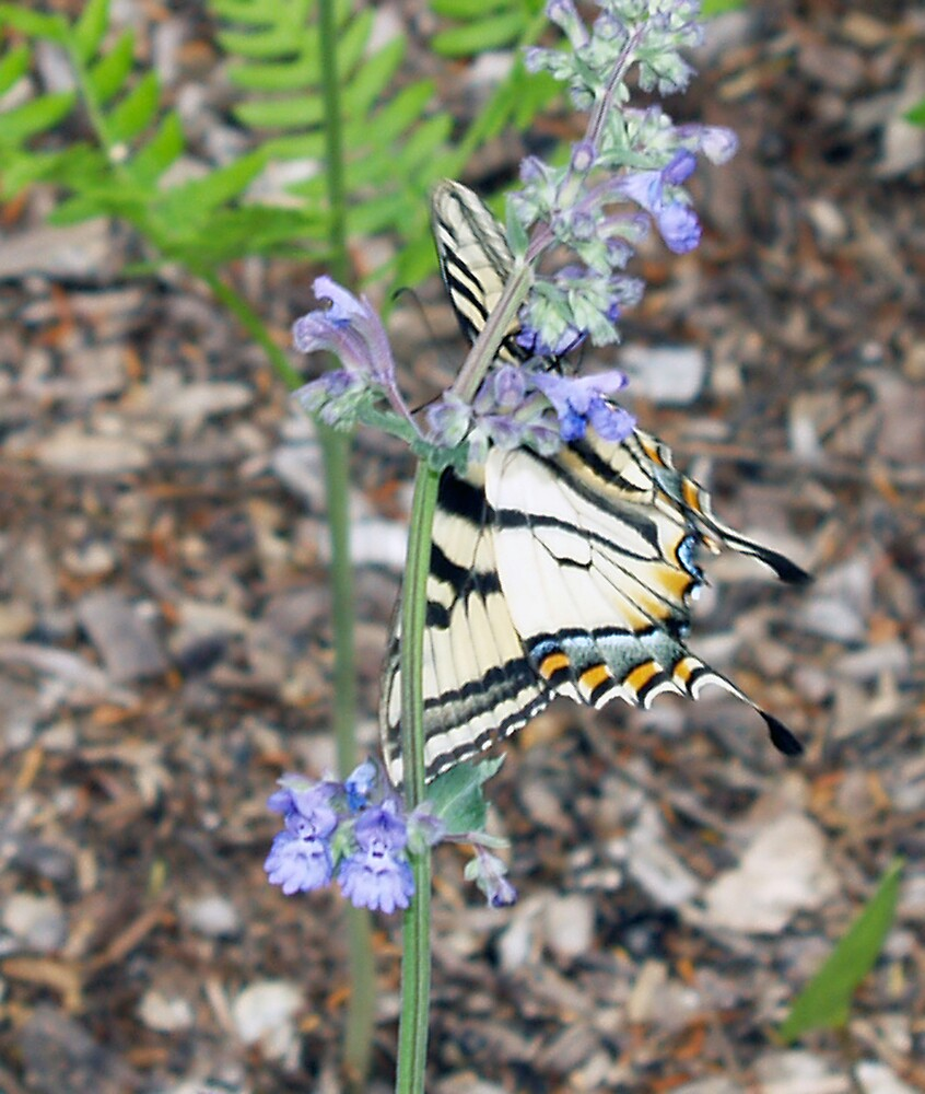 butterfly in the catmint by edward gaudette