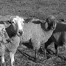 Sheep by DMWilliams