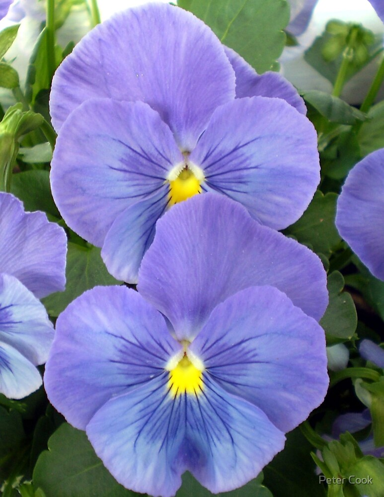 blue flowers by Peter Cook