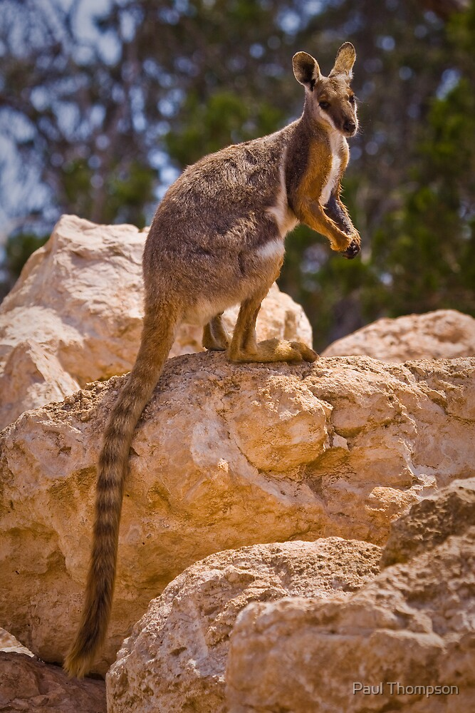 Yellow Footed Rock Wallaby by Paul Thompson