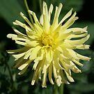 Yellow Dahlia by Debra LINKEVICS