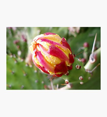 Cactus, the flower bud Photographic Print