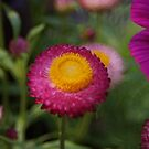 bright straw flower by dedmanshootn