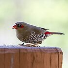 Red-eared Firetail by Elaine Teague