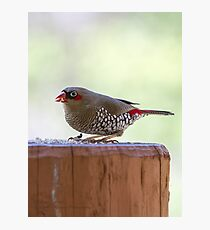 Red-eared Firetail Photographic Print