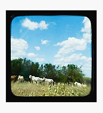 Brahman Cattle Photographic Print