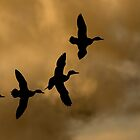 Sunset flight of the pintails by Sue Purveur