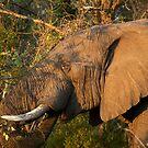 Elephant Bull by Leon Rossouw
