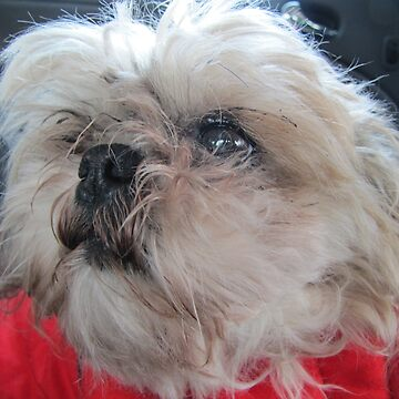 Shih tzu in car by PVagberg