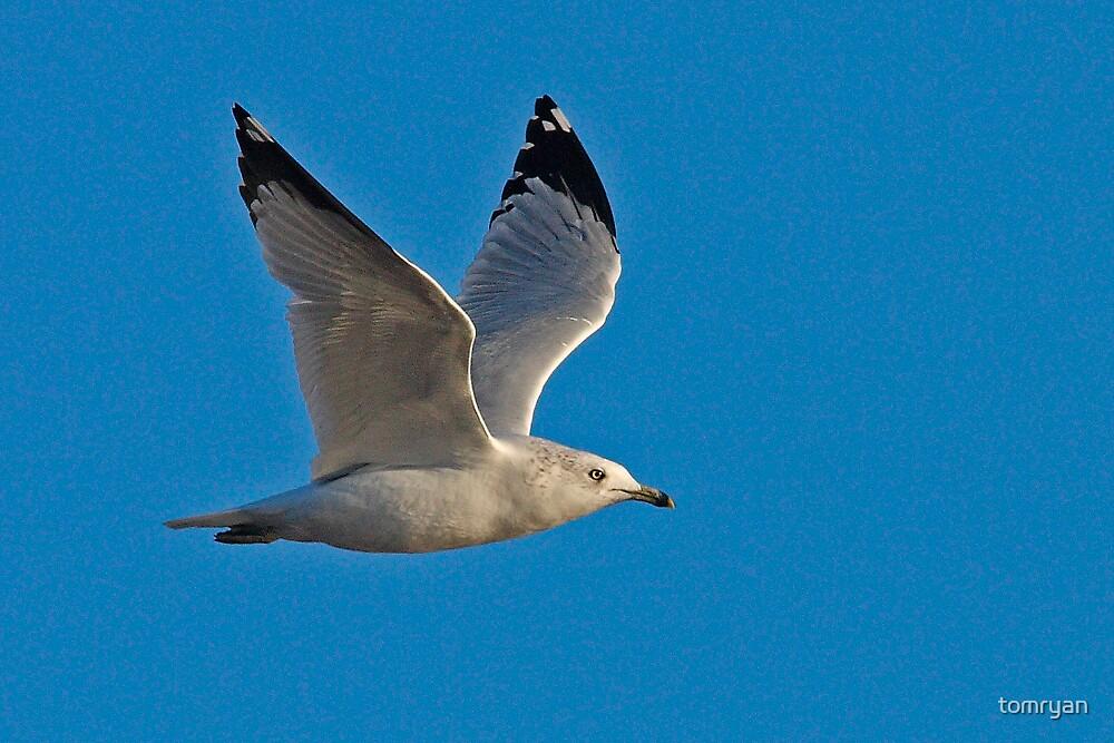 Ring-billed Gull by tomryan