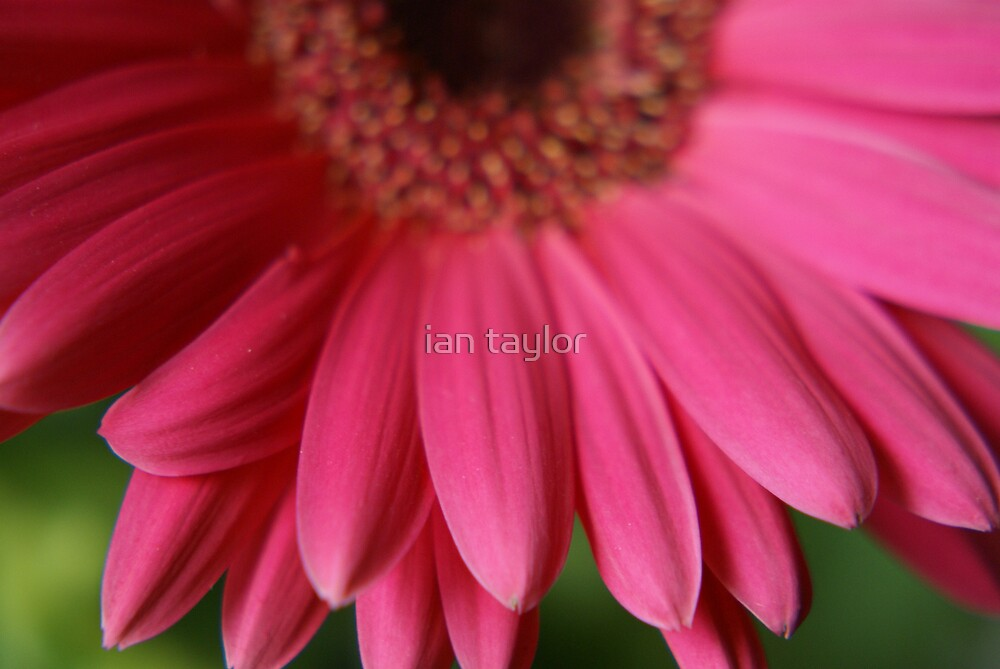 DEEP PINK 1 by ian taylor