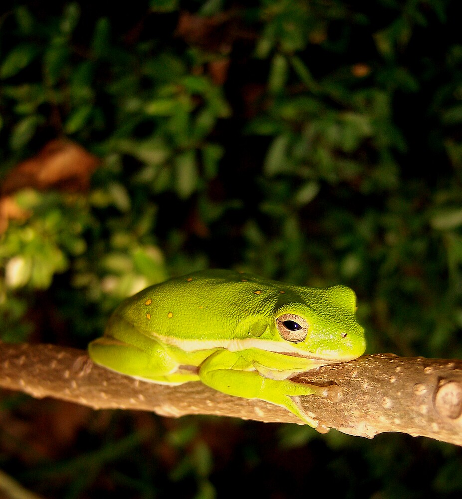 Mr Tree Frog by DottieDees