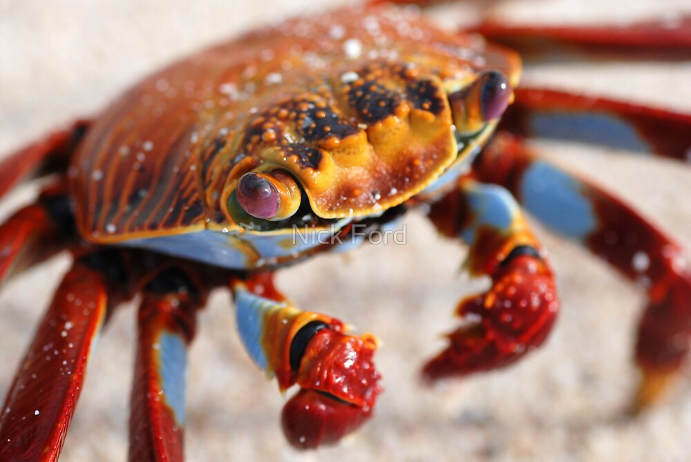 Sally-Light Foot Crab by Nick Ford