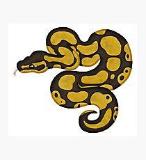 Ball/Royal Python - Normal Morph Photographic Print