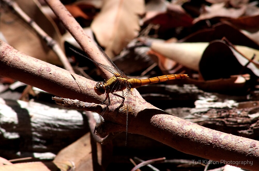 Dragonfly I by Tull Kidron Photography