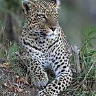 Serengeti Leopard by Anthony Goldman